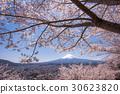 mt. arayama sengen park, yoshino cherry tree, cherry blossom 30623820