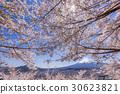 mt. arayama sengen park, yoshino cherry tree, cherry blossom 30623821