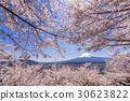 mt. arayama sengen park, yoshino cherry tree, cherry blossom 30623822