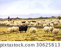 Sheep herding 30625613