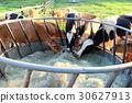 牛 農場 晴天 30627913
