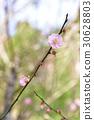 桃花 树枝 开花 30628803