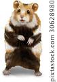 倉鼠 白底 動物 30628980