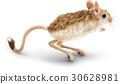 白底 鼠標 老鼠 30628981