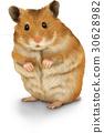 倉鼠 金倉鼠 白底 30628982