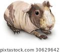 白底 白色背景 荷蘭豬 30629642