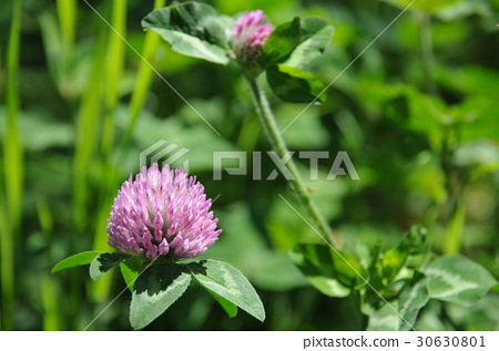 Red clover 30630801
