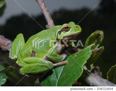 Italian tree frog Hyla intermedia 30632604