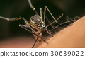 Macro of mosquito (Aedes aegypti) sucking blood 30639022