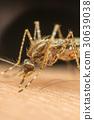 Macro of mosquito (Aedes aegypti) sucking blood 30639038