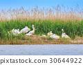 dalmatian pelicans (pelecanus crispus) 30644922