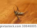 mosquito, mosquitoes, hexapod 30646005