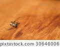 mosquito, mosquitoes, hexapod 30646006
