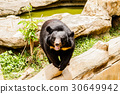 animal, bear, black 30649942