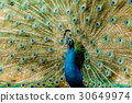 Peacock. Portrait of male peacock . 30649974