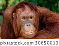 portrait of the orangutan in the zoo in thailand. 30650013