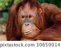 portrait of the orangutan in the zoo in thailand. 30650014