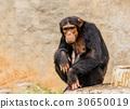The portrait of black chimpanzee 30650019