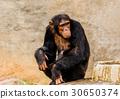 The portrait of black chimpanzee 30650374