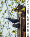 Birdhouse with its inhabitant starling 30650875