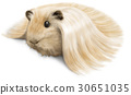 Guinea pig picture 30651035