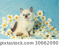 Cute little kitten sitting on chamomile flowers 30662090