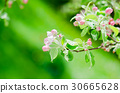 A branch of blossoming Apple trees in springtime 30665628