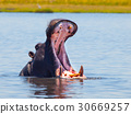 hippopotamus, mouth, animal 30669257