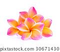 frangipani flowers isolated on white background 30671430