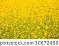 spring, rape, blossoms 30672499