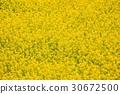 spring, rape, blossoms 30672500