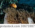 Clown fish inside red anemone in Maldives  30673987