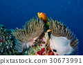 Clown fish inside red anemone in Maldives  30673991