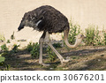 Image of an ostrich on nature background.  30676201