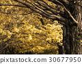 ginkgo, gingko, arboreal 30677950