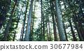ป่าซีดาร์ 30677984
