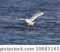 Snowy Egret (Egretta thula) Landing. 30683145