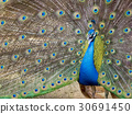 Image of a peacock showing its beautiful feathers. 30691450