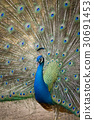 Image of a peacock showing its beautiful feathers. 30691453