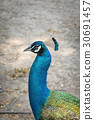 Image of a peacock head on nature background. 30691457
