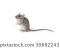 rat 30692243