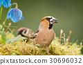bird, flower, finch 30696032