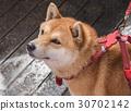 Shiba Inu 30702142