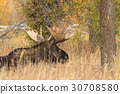 moose, bull, animal 30708580