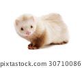 Cute red ferret 30710086