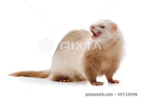 Cute red ferret 30710096