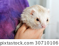 Cute red ferret 30710106