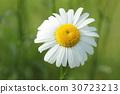 野菊花 菊花 花朵 30723213