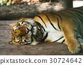 Sleeping tiger 30724642