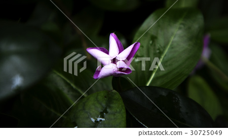 花卉 30725049
